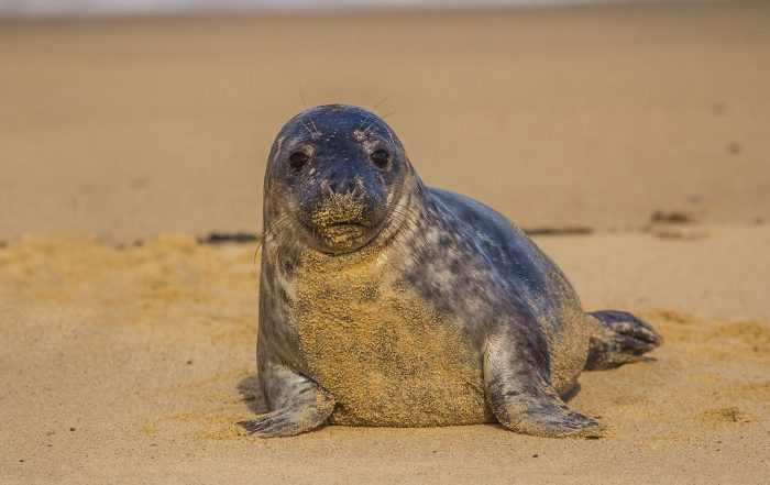 Seal cub on a Norfolk Beach