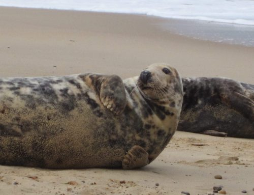 Seals at Horsey and Winterton Beaches